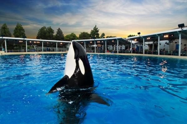 Shamu at SeaWorld San Diego.