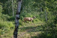 Elk roaming through the thick forest next to our cabin.