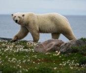 Papa bear searching for foodPapa bear amongst the rocks - Image Jason Dutton-Smith